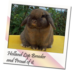 Cute Holland Lop Rabbit